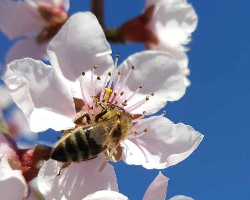 Floare de piersic cu o albina care culege polen
